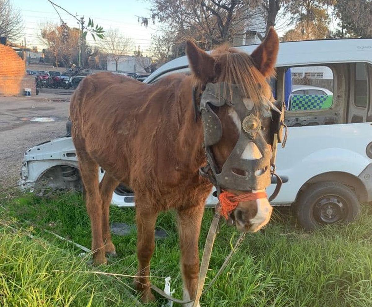 Merlo: rescataron a un caballo explotado en la vía pública